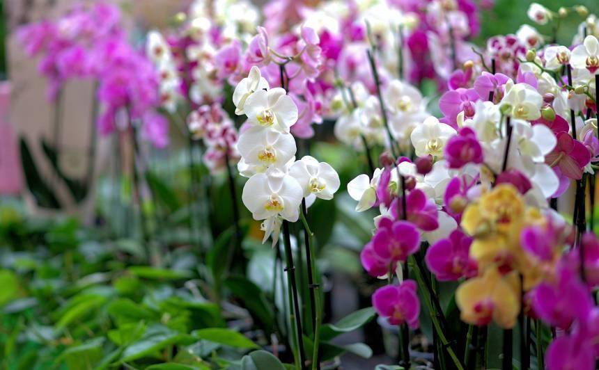 Kā orhideju atbrīvot <strong>no pūkainajām bruņutīm</strong>