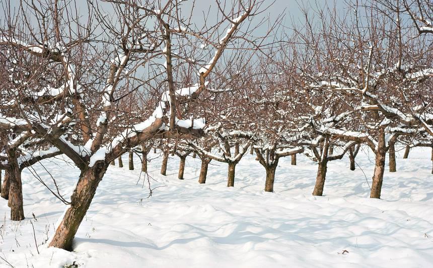 Vai ziemā drīkst <strong>izgriezt augļu kokiem zarus?</strong>