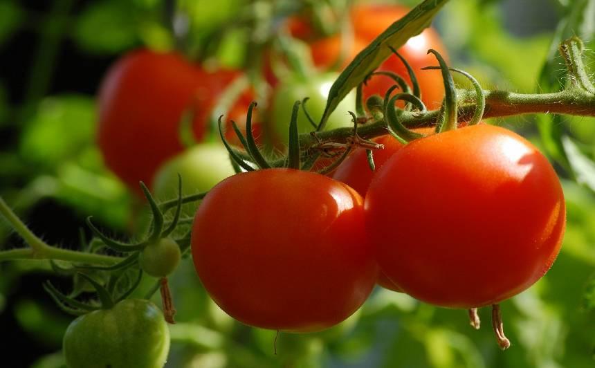 Ko <strong>tomāti gaida</strong> jūlijā?
