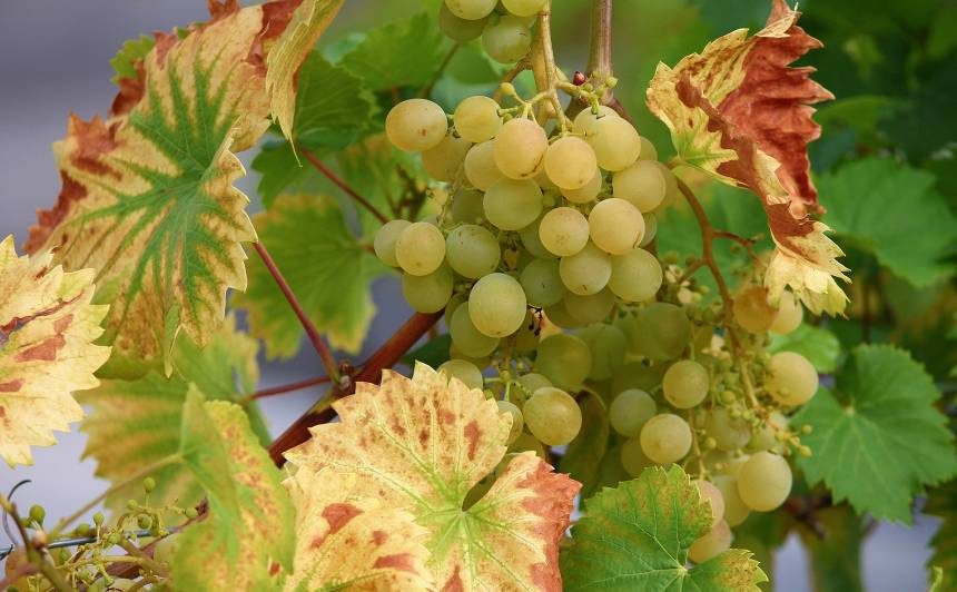 Augusta <strong>apkopes darbi vīnogulājiem</strong>