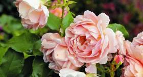 Cik zemu apgriezt rozes pēc ziemas?