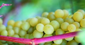 Kā <strong>apgriezt vīnogu</strong>?