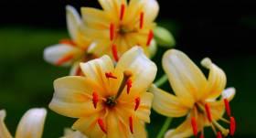 Martagonlilijas – liliju grupas dārza krāšņie ziedi