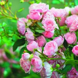 Kā pareizi <strong>uzpotēt rozi?</strong>