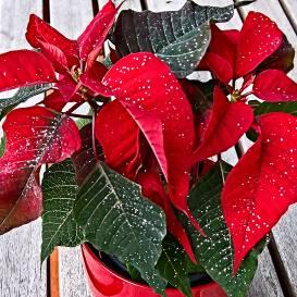 <strong>Ziemassvētku zvaigzne puansetija</strong> — var ziedēt un augt vēl ilgi pēc svētkiem