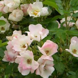 Krāšņās un izturīgās <strong>parka rozes</strong>