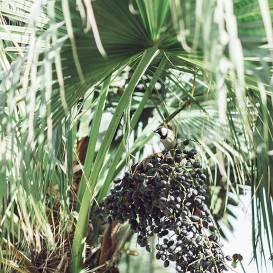 Kas nepieciešams palmu labsajūta ziemā?