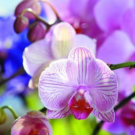 Orhideju pieradināta