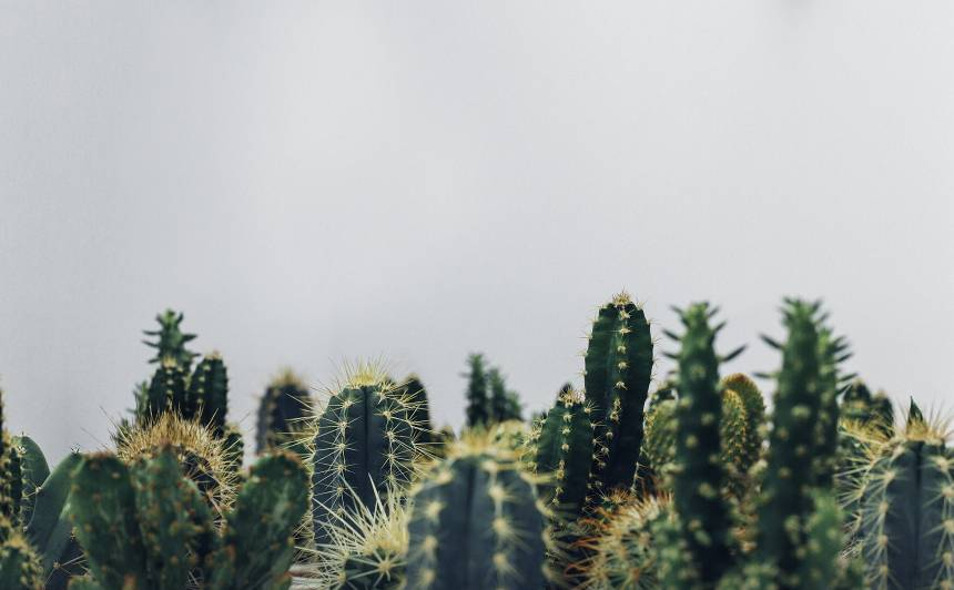 <strong>Ziemā kaktusiem nepieciešams</strong> miera periods