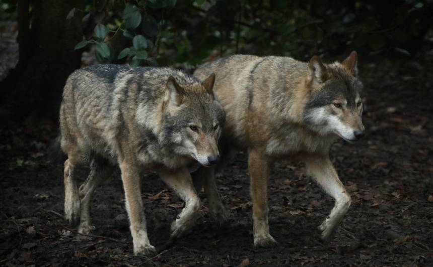 As a matinee performance at Bristol's Wild Place, two of the wolves put on a brief song and dance routine