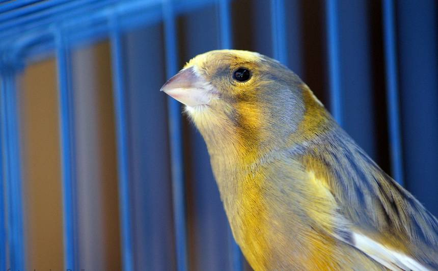 Vai putns ir <strong>jālaiž ārā</strong> no būra?