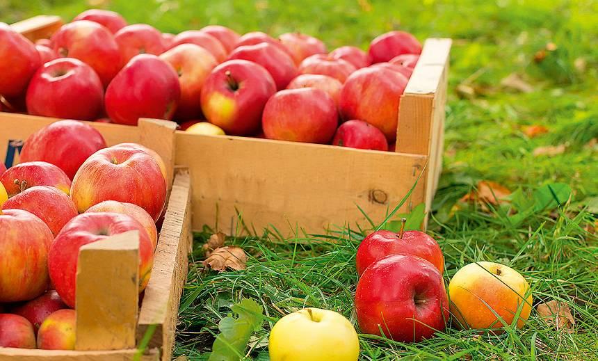Glabājam ābolus ziemai