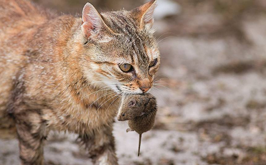 Kāpēc kaķiem <strong>patīk medīt</strong> peles?