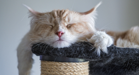 A cute photo of my Maine coon Pablo sleeping on the cat tree