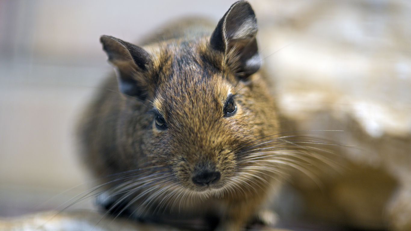 Portrait of a degu, looking at me...