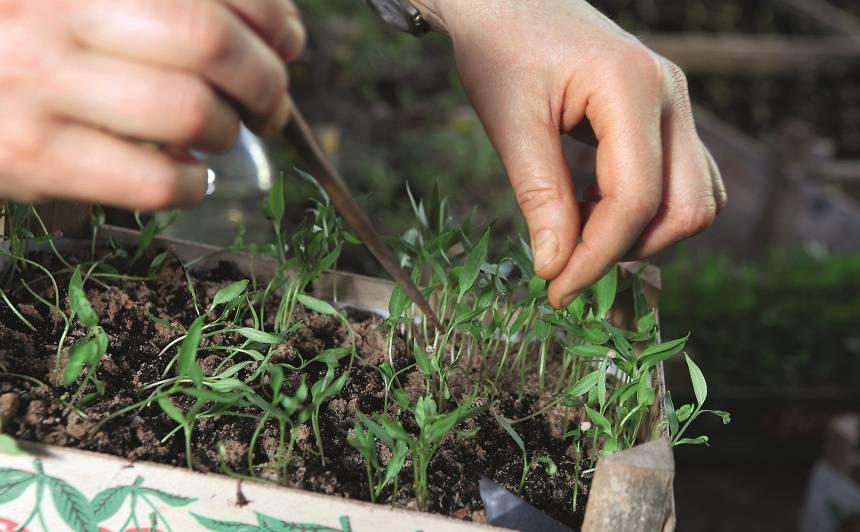 Siltumnīca iesācējam. <strong>Īsais kurss tomātu dēstu audzēšanā</strong>