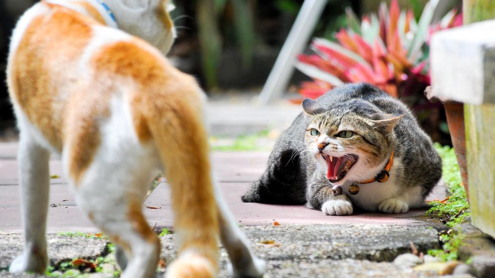 <strong>Kā mazināt runča vēlmi</strong> iesaistīties kaķu kaujās