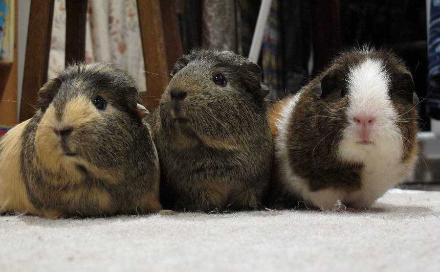 Nov 2017 - our guinea pigs