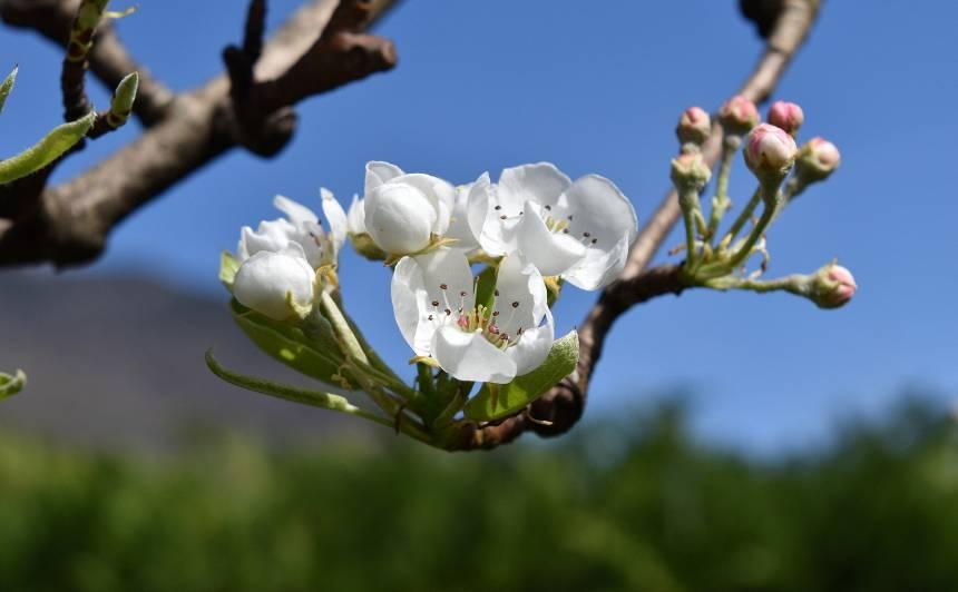 <strong>Ātri, klasiski vai moderni</strong> — Latvijas audzētāji iesaka ābolu un bumbieru šķirnes katrai gaumei!