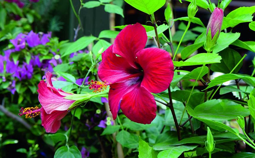 Laimes puķe – <strong>Ķīnas roze</strong>