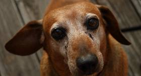My old Mini Dachschund. She is over 13 years old. Still the sweetest face in town.