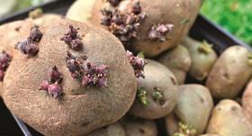 <strong>Kartupeļus var izaudzēt</strong> arī pavisam mazā dārziņā