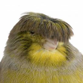 Putnu pasaules hipijs – <strong>Glosteras kanārijputniņš</strong>