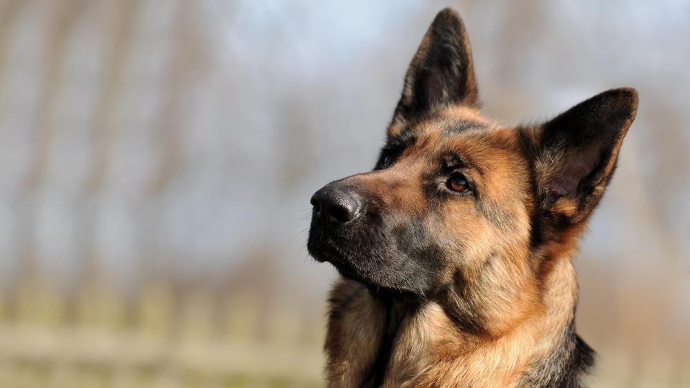 Vācu aitu suns