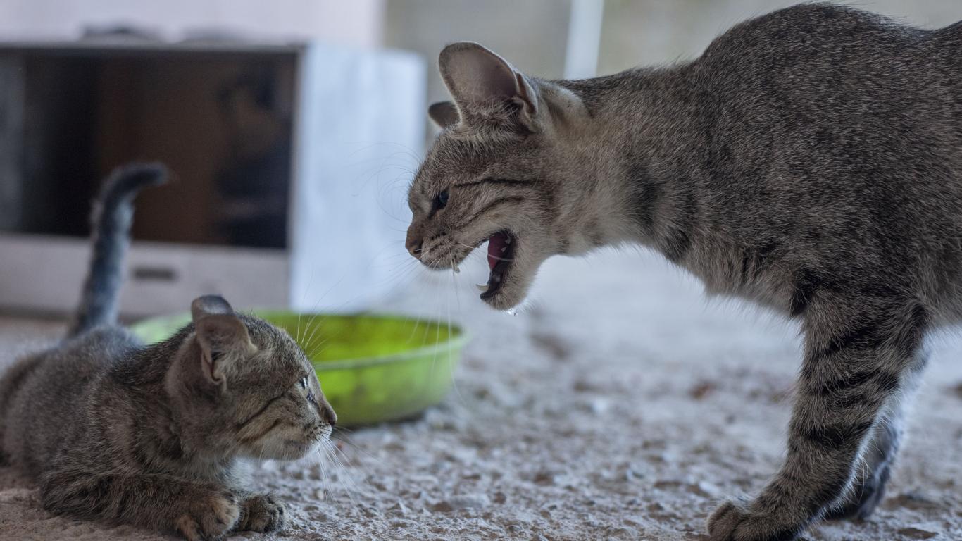 Kā samierināt kaķus, ja <strong>draudzība neveidojas</strong>
