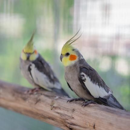 Sabiedriskie un atraktīvie kakadu radinieki — mazās <strong>korellas</strong>