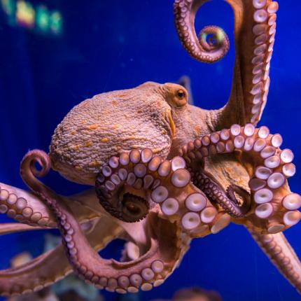 Ķīselis ar <strong>skumjo skatienu</strong> — astoņkājis