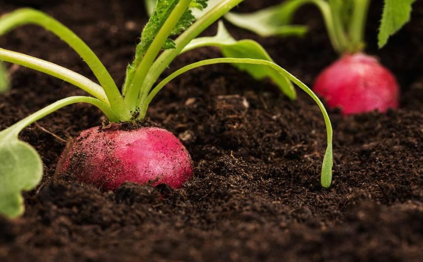 Pavasara vēstneši – <strong>redīsi, salāti, spināti</strong>