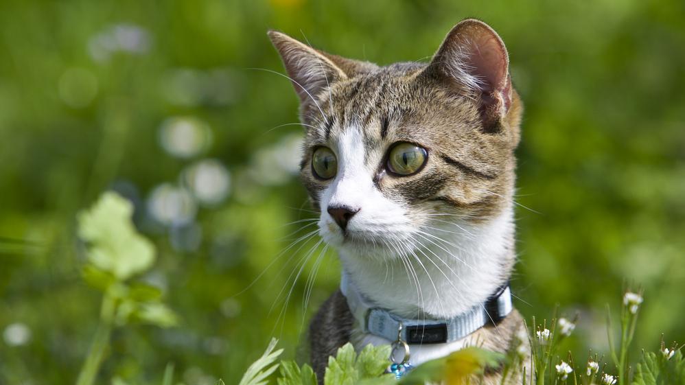 <strong>Istabas kaķis laukos</strong> — apdraudējumi un pārbaudījumi