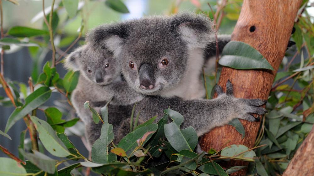 Koala ar mazuli