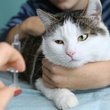 <strong>Kaķa un cilvēka savstarpējais apdraudējums:</strong> leptospiroze