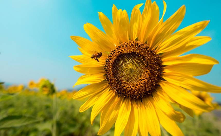 Uz zemes nokāpušās <strong>saules meitas</strong> — saulespuķes