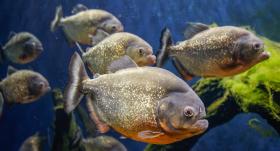 <strong>Pasaulē briesmīgākās</strong> zivis