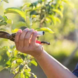 Nopirki augļu koku? <strong>Veido vainagu!</strong>