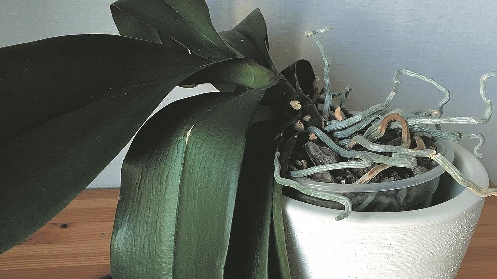 Kāpēc orhidejai <strong>ļenganas lapas?</strong>