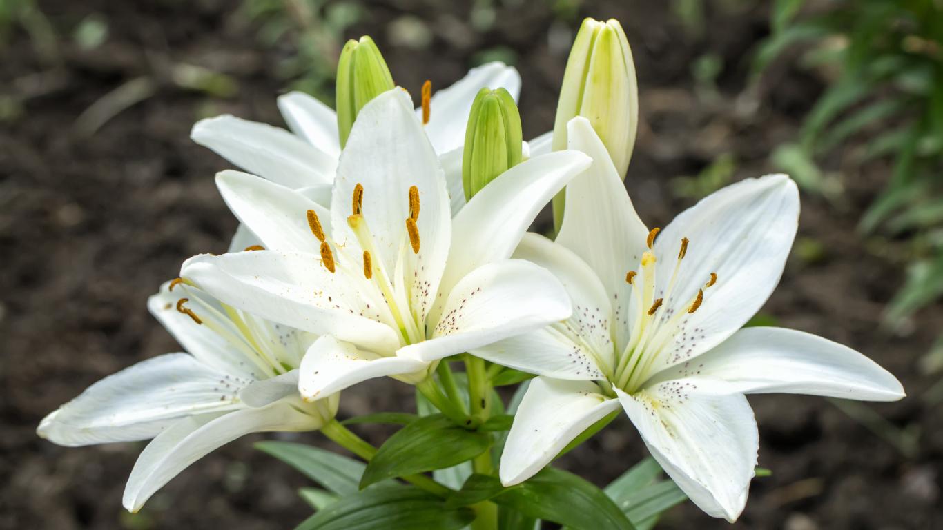 9 padomi, lai lilijas ziedētu <strong>bagātīgi</strong>