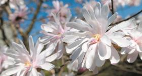 Pieci padomi, <strong>lai tavā dārzā ziedētu magnolijas</strong>