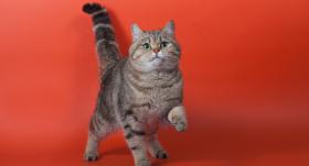 Kā <strong>tulkot</strong> kaķa emocijas