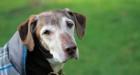 <strong>10 svarīgi jautājumi</strong> par vecu suni