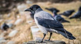 <strong>Putnu pasaules ģēniji</strong> — vārnas
