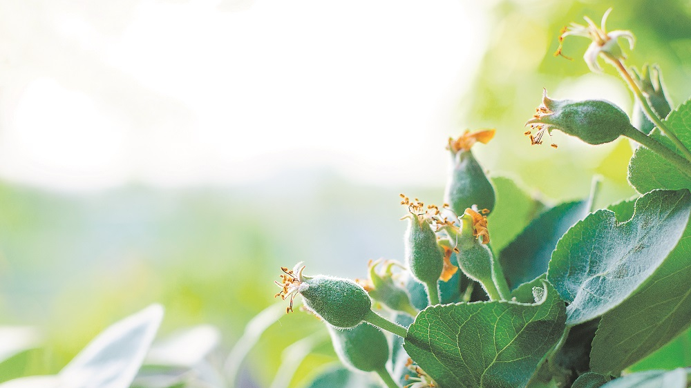 <strong>4 vienkārši padomi,</strong> kā pasargāt augļu dārzu no kaitēkļiem un slimībām