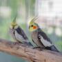 <strong>Kompanjons papagailim — </strong> septiņreiz pārdomā, vienreiz pērc