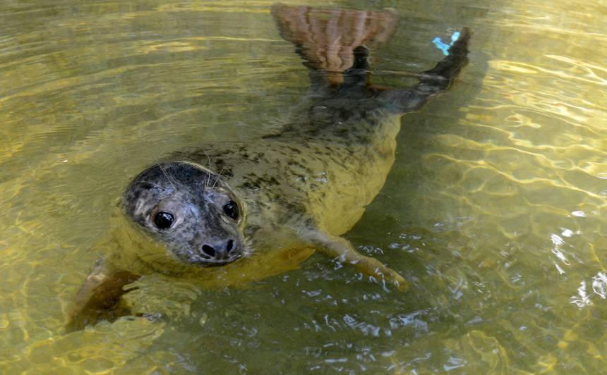 FOTO: Baltijas jūrā atgriezīsies divi pavasarī <strong>izglābtie roņi</strong>