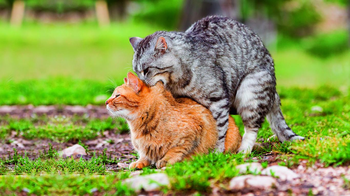 Vai <strong>drīkst kastrēt</strong> svešu kaķi?