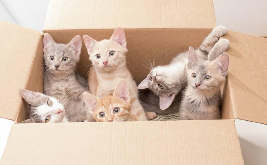 Vēlos šķirnes kaķēnu! <strong>Kā nenopirkt kaķi maisā?</strong>
