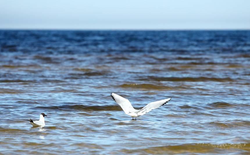 Par <strong>putnu barošanu</strong> Jūrmalā varētu piemērot sodu